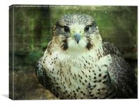 Peregrin Falcon, Canvas Print