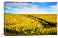 Yellow Field Flowers., Canvas Print