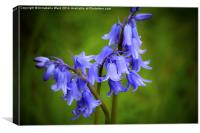 Bluebell Tears, Canvas Print