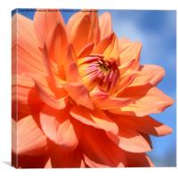Summer Dahlia, Canvas Print