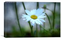 Daisy Delight., Canvas Print