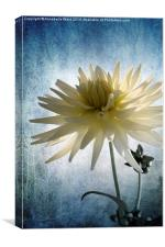 Dazed Dahlia., Canvas Print
