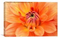 Just peachy, my Dahlia., Canvas Print