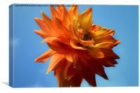Autumn Dahlia., Canvas Print