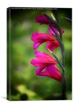 Wild Pink Gladioli., Canvas Print