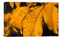 Walnut leaf in warm autumn light, Canvas Print