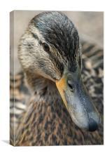 Duck, Canvas Print