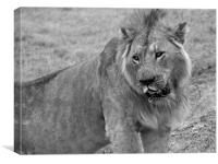 Lion In The Serengeti, Canvas Print