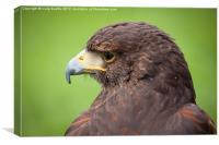 Harrier Hawk, Canvas Print