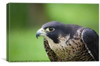 Curious Falcon, Canvas Print