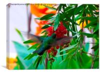 Colourful Hummingbird, Canvas Print