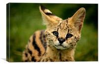Serval Kitten, Canvas Print