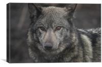 European Wolf, Canvas Print