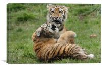 Amur Tiger Cubs Fighting, Canvas Print
