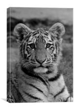 Amur Tiger Cub, Canvas Print