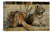 Amur Tiger Cubs, Canvas Print