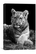 Arina the Tiger Cub, Canvas Print