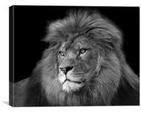 Barbary Lion, Canvas Print