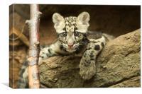 Clouded leopard cub, Canvas Print