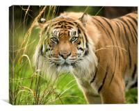 Sumatran tiger , Canvas Print