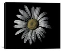 Daisy Dew, Canvas Print