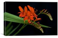 Crocosmia, Canvas Print