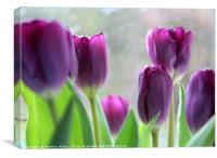 Purple tulips, Canvas Print
