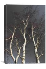 Silver Birch, Canvas Print