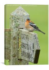 Signpost Chaffinch, Canvas Print