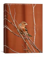 Male Chaffinch 2, Canvas Print
