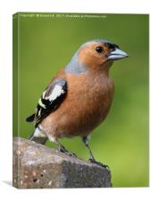 Male Chaffinch on post, Canvas Print