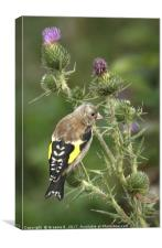 Juvenile Goldfinch 1, Canvas Print