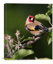 Goldfinch 18, Canvas Print