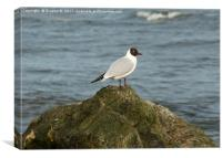Black Headed Gull 2, Canvas Print
