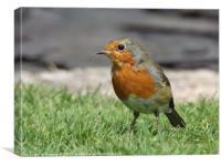 Garden Robin, Canvas Print
