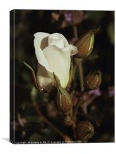 White Rose and Buds, Canvas Print
