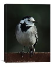 Pied Wagtail, Canvas Print