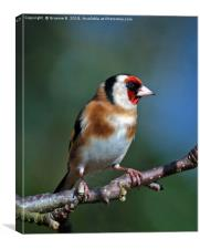 Goldfinch In The Bush, Canvas Print