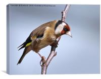 Goldfinch ready for take off, Canvas Print