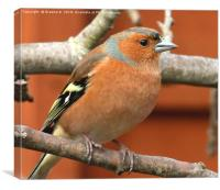 Male Chaffinch 4, Canvas Print