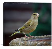 Female Greenfinch, Canvas Print