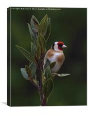 Goldfinch in an apple tree, Canvas Print