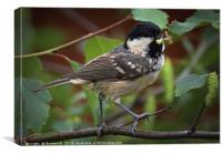 Marsh Tit 4, Canvas Print