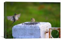 Sparrow in flight, Canvas Print