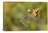 Tiger Swallow Tail, Canvas Print