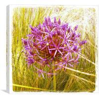 Allium Christophii, Canvas Print