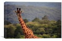 African Maasai Giraffe, Canvas Print
