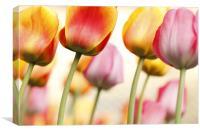 Tulip - Impressions 1, Canvas Print