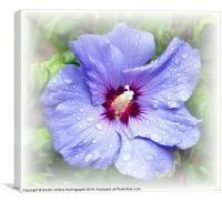 Blue Hibiscus, Canvas Print
