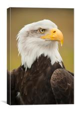 Bald Eagle, Canvas Print